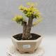 Indoor bonsai -Ligustrum Aurea - Bird's beak - 1/6