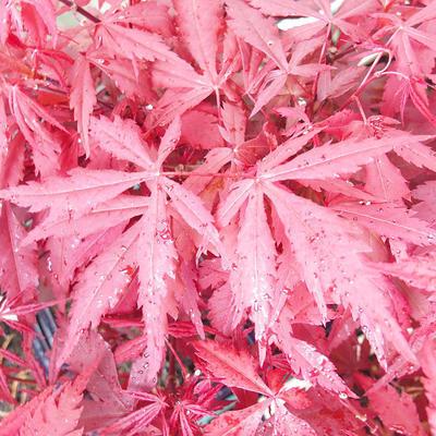 Outdoor bonsai - Acer palm. Atropurpureum-Maple - 1
