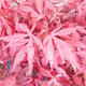 Outdoor bonsai - Acer palm. Atropurpureum-Maple - 1/2