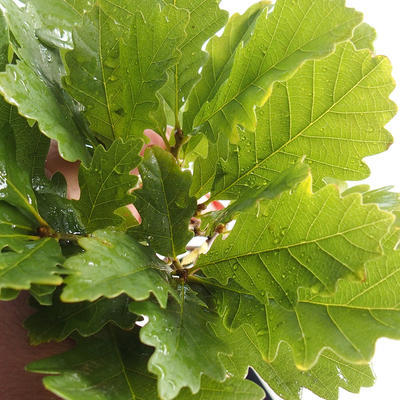 Outdoor bonsai-Quercus robur-Summer oak - 1