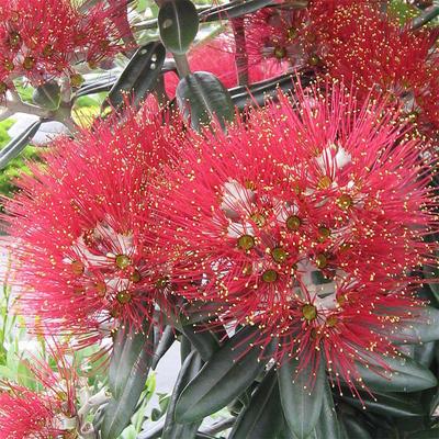 Indoor bonsai - Metrosideros excelsa PB220499 - 1