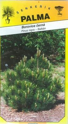Black Pine - Pinus nigra