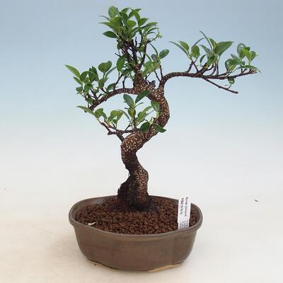 Room bonsai - Ficus kimmen - malolistý ficus - 1