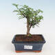 Indoor bonsai - Serissa foetida - Tree of a Thousand Stars - 1/2