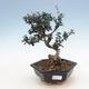 Indoor bonsai - Olea europaea sylvestris - European small-leaved olive oil - 1/5