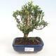 Room Bonsai - Buxus harlandii - Cork boxwood - 1/4