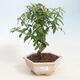 Indoor bonsai-PUNICA granatum nana-Pomegranate - 1/3