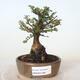 Outdoor bonsai - Ulmus parvifolia SAIGEN - Small-leaved elm - 1/7