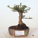 Outdoor bonsai - Ulmus parvifolia SAIGEN - Small-leaved elm - 1/3