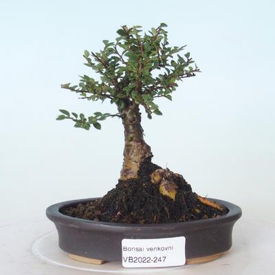 Outdoor bonsai - Ulmus parvifolia SAIGEN - Small-leaved elm - 1