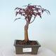 Outdoor bonsai - Acer palm. Atropurpureum-Red palm leaf - 1/6
