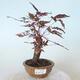 Outdoor bonsai - Acer palm. Atropurpureum-Red palm leaf - 1/5