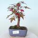 Outdoor bonsai - Maple palmatum DESHOJO - Maple palmate - 1/5