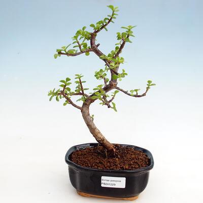 Indoor bonsai - Portulakaria Afra - Tlustice - 1