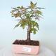 Outdoor bonsai - Maple palmatum sangokaku - Maple palm leaf - 1/5