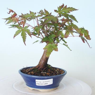 Outdoor bonsai - Maple palmatum sangokaku - Maple palm leaf - 1
