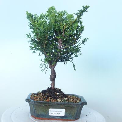 Outdoor bonsai - Cham.pis obtusa Nana Gracilis - Cypress - 1