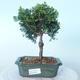 Outdoor bonsai - Cham.pis obtusa Nana Gracilis - Cypress - 1/2