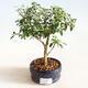 Indoor bonsai - Serissa foetida Variegata - Tree of a Thousand Stars - 1/2