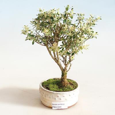 Indoor bonsai - Serissa foetida Variegata - Tree of a Thousand Stars - 1