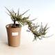 Outdoor bonsai - Maple palmatum DESHOJO - Maple palm - 1/4