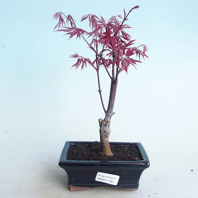 Outdoor bonsai - Acer palm. Atropurpureum-Red palm leaf - 1