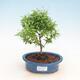 Room bonsai-PUNICA granatum nana-pomegranate - 1/4