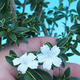 Room bonsai - Serissa foetida Variegata - Strom thousands of stars - 1/3