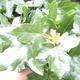 Outdoor bonsai-Acer campestre-Babyka maple - 1/2