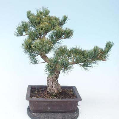 Pinus parviflora - Small-flowered Pine VB2020-130 - 2