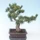 Pinus parviflora - Small-flowered Pine VB2020-130 - 2/3