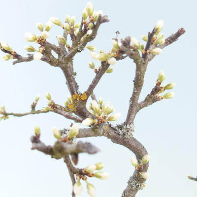 Outdoor bonsai - Prunus spinosa - Blackthorn - 2