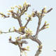 Outdoor bonsai - Prunus spinosa - Blackthorn - 2/2