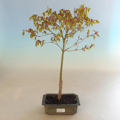 Acer palmatum Aureum - Japanese maple VB2020-469 - 2