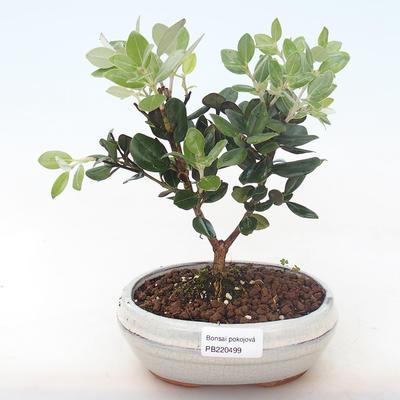 Indoor bonsai - Metrosideros excelsa PB220499 - 2
