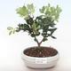 Indoor bonsai - Metrosideros excelsa PB220499 - 2/3