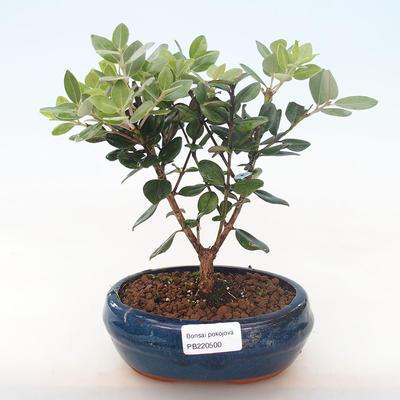 Indoor bonsai - Metrosideros excelsa PB220500 - 2