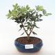 Indoor bonsai - Metrosideros excelsa PB220500 - 2/3