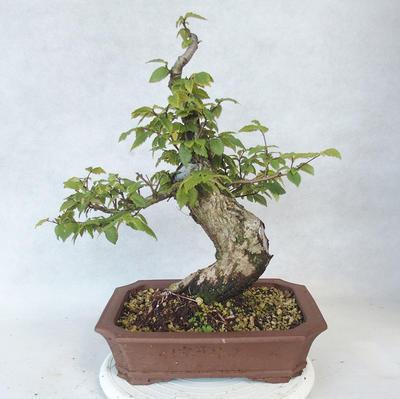 Outdoor bonsai-Ulmus Glabra-Solid clay - 2