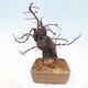 Outdoor bonsai - Pseudocydonia sinensis - Chinese quince - 2/7