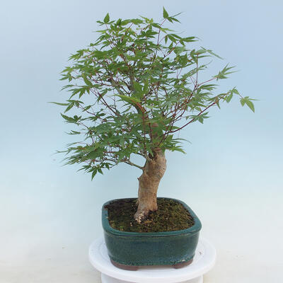 Pinus parviflora - Small-flowered Pine VB2020-121 - 2