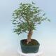 Pinus parviflora - Small-flowered Pine VB2020-121 - 2/3