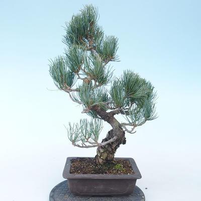 Pinus parviflora - Small-flowered Pine VB2020-135 - 2