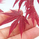 Outdoor bonsai - Acer palm. Atropurpureum-Red palm leaf - 2/2