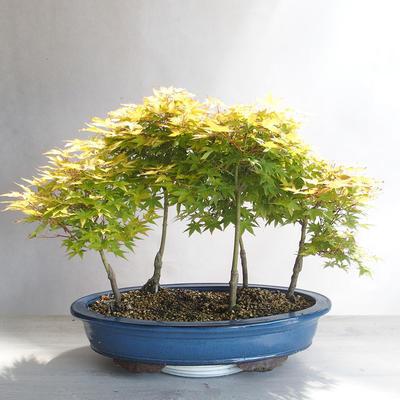 Acer palmatum Aureum - Golden Palm Maple - 2