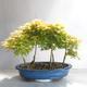 Acer palmatum Aureum - Golden Palm Maple - 2/3