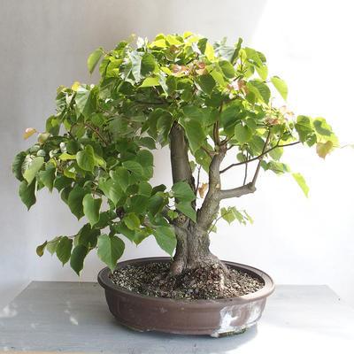 Outdoor bonsai - Linden - Tilia cordata - 2