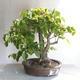 Outdoor bonsai - Linden - Tilia cordata - 2/5