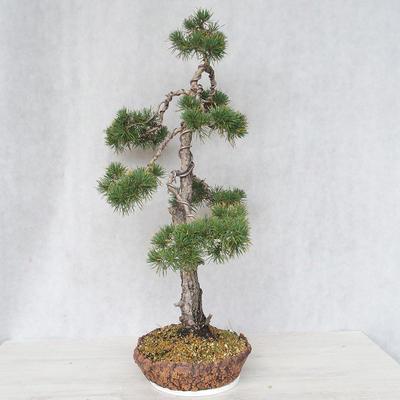 Outdoor bonsai - Pinus Sylvestris - Scots pine - 2