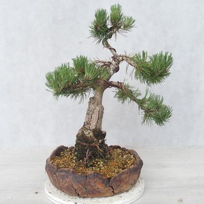 Outdoor bonsai - Pinus Mugo - Kneeling Pine - 2